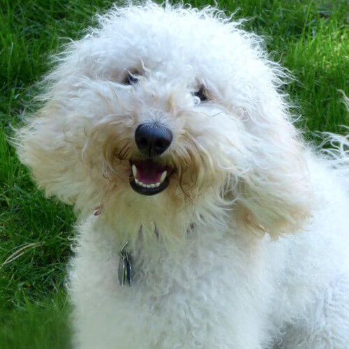 Perfect the Labradoodle