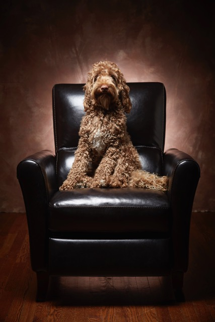 Jake the Sire Labradoodle